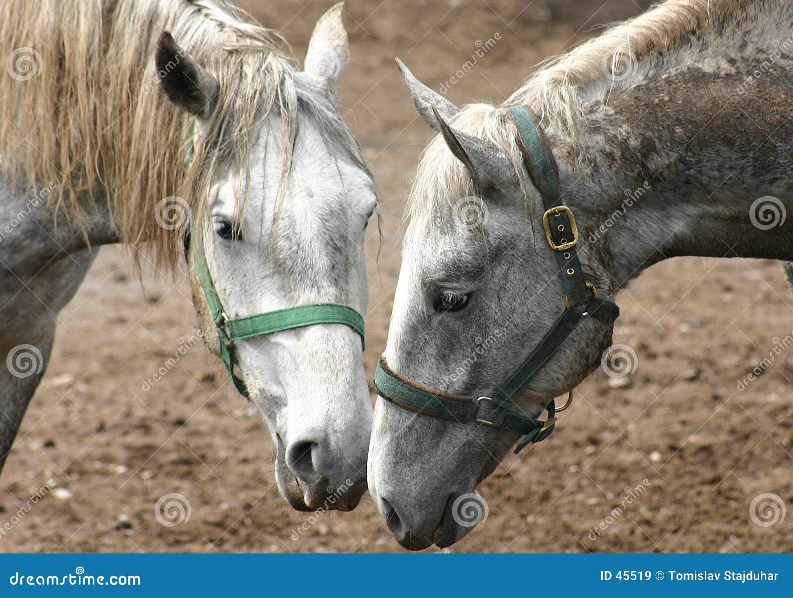 Pferde in Lipica