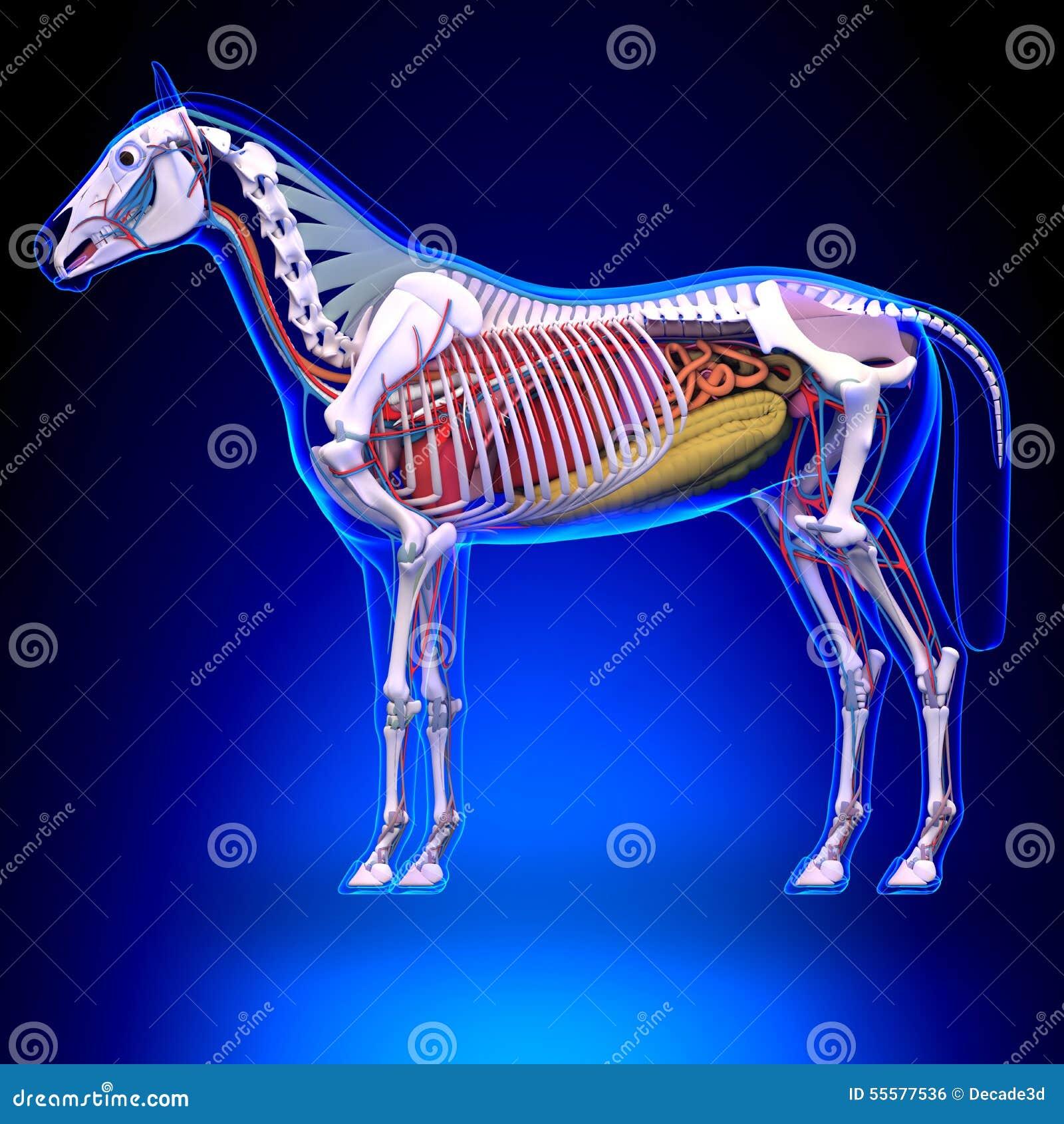 Pferdeanatomie - Interne Anatomie Des Pferds Stock Abbildung ...