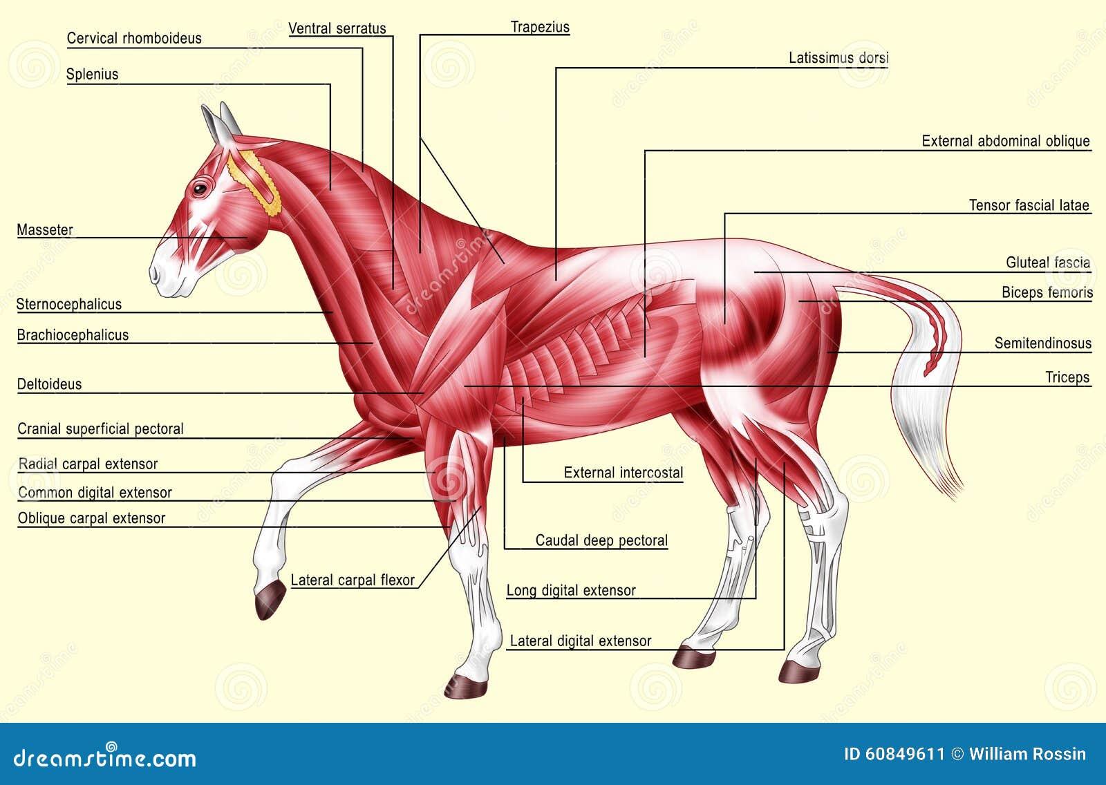 Tolle Anatomie Des Pferdes Galerie - Menschliche Anatomie Bilder ...