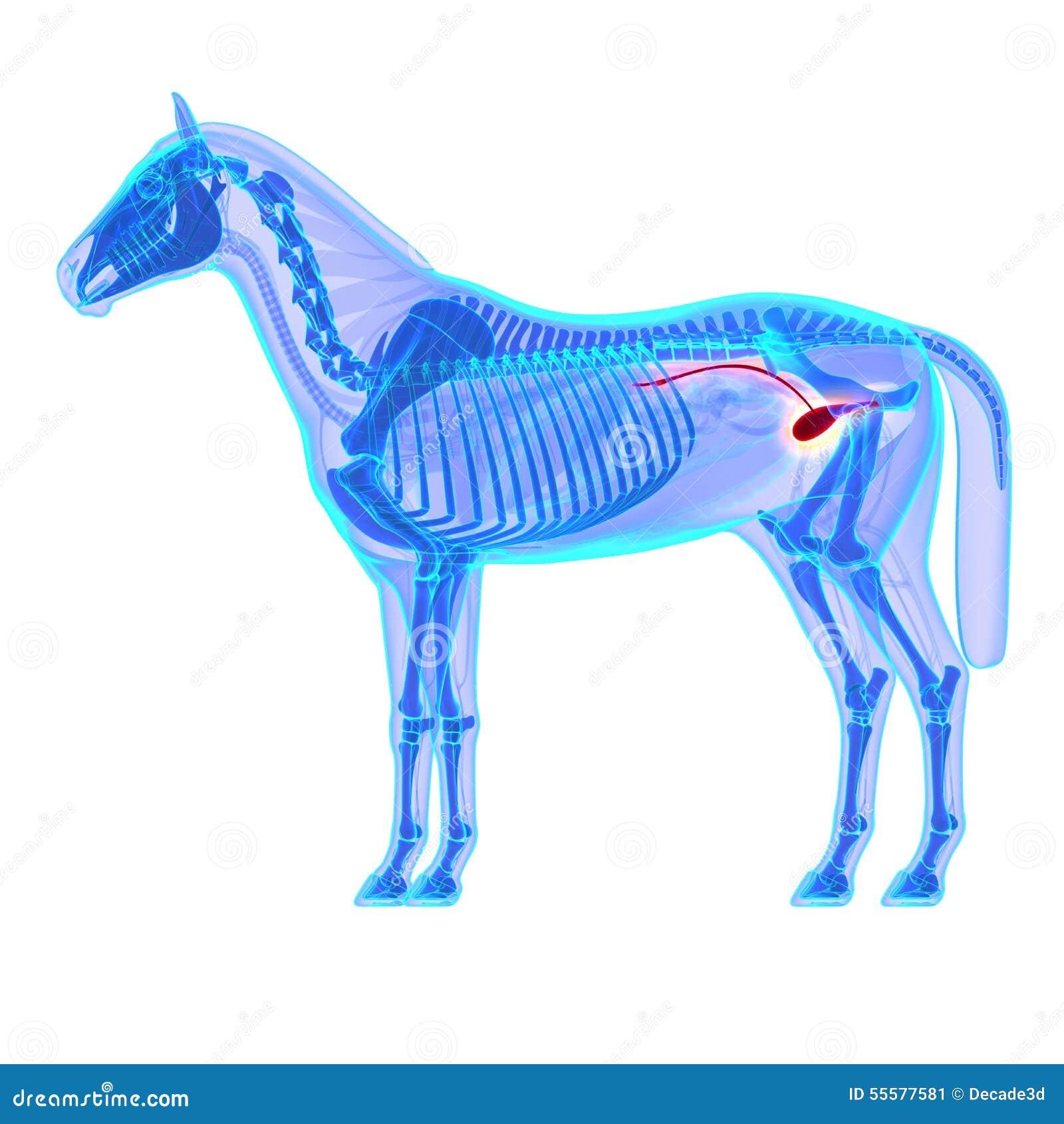 Pferdeblasen-Harnröhre - Pferdequus-Anatomie - Lokalisiert Auf Weiß ...