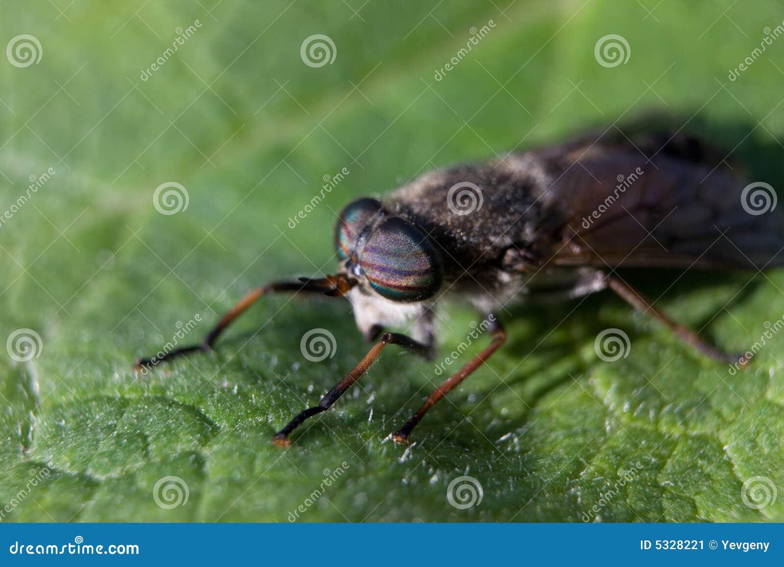 pferden fliegen insekt stockbild bild von gespenstisch 5328221. Black Bedroom Furniture Sets. Home Design Ideas