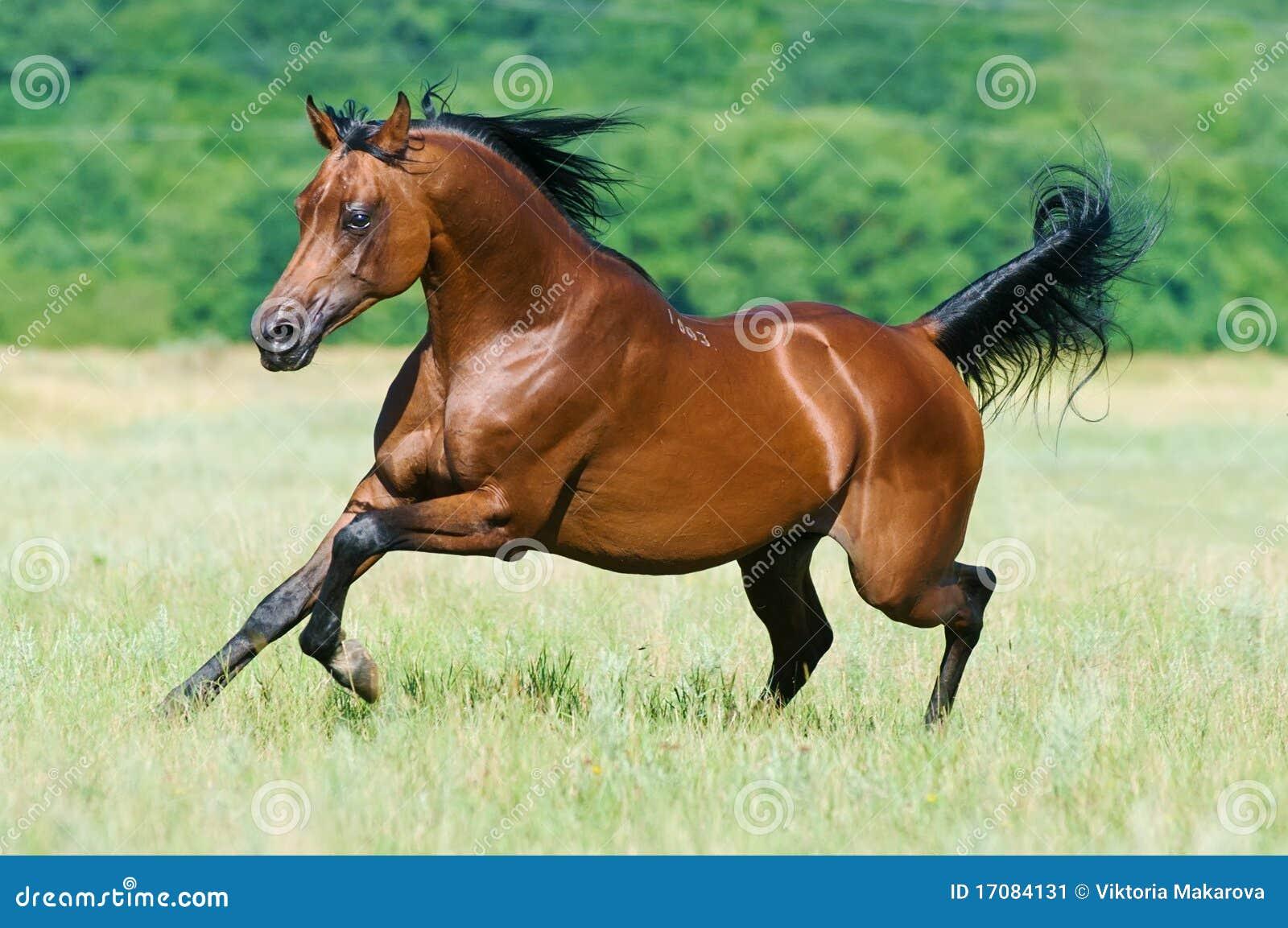 Pferden-Läufergalopp des Schachtes arabischer