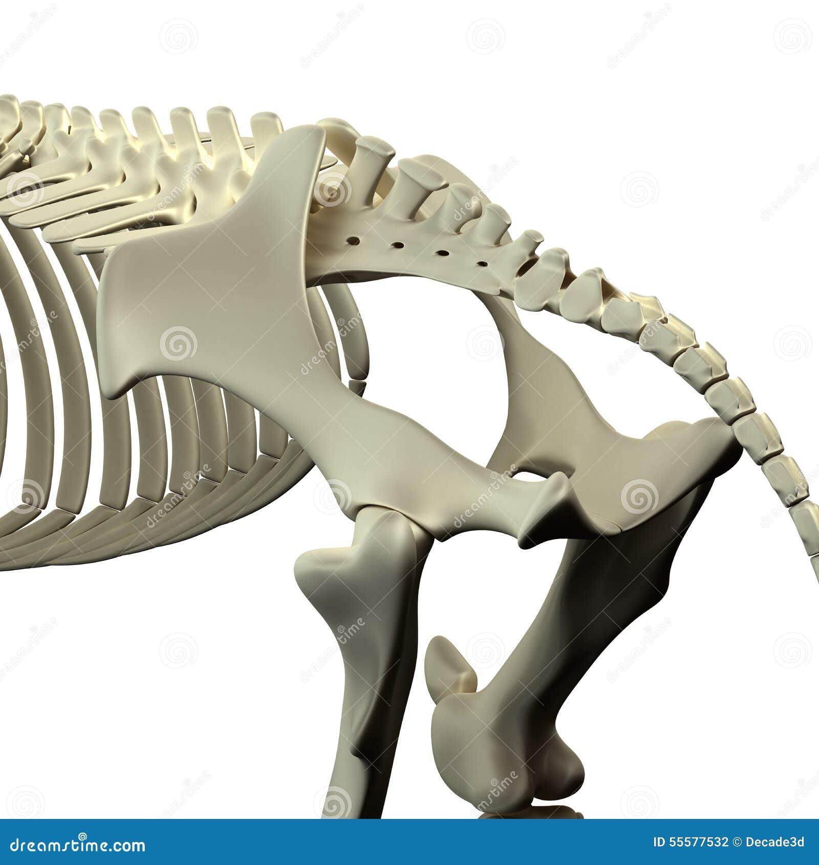 Pferdepelvis - Pferdequus-Anatomie - Lokalisiert Auf Weiß Stock ...