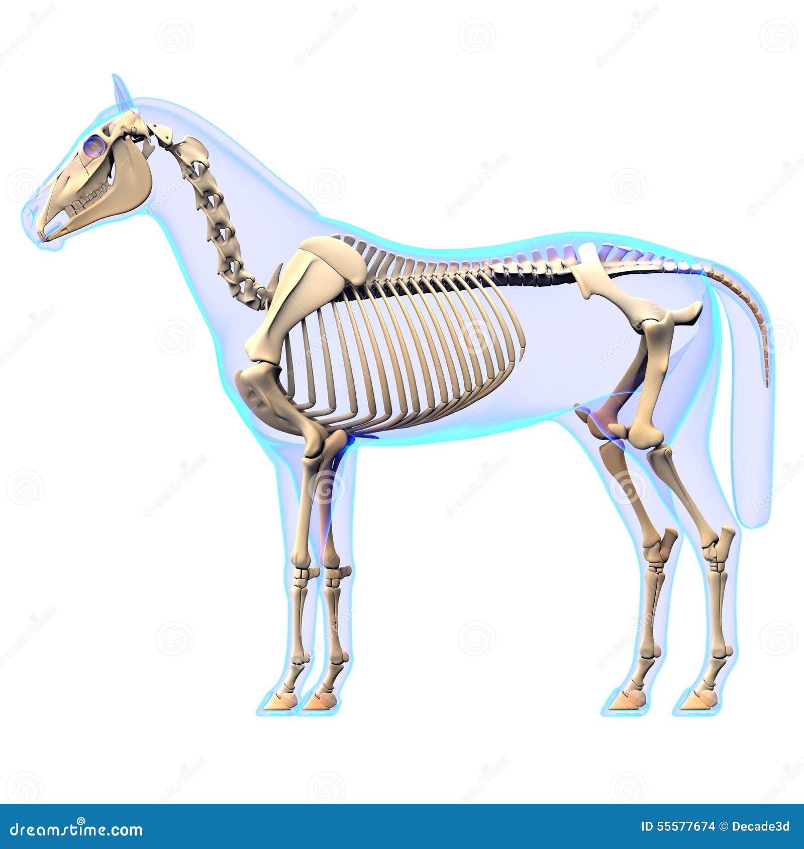 Pferdeleber - Pferdequus-Anatomie - Lokalisiert Auf Weiß Stock ...