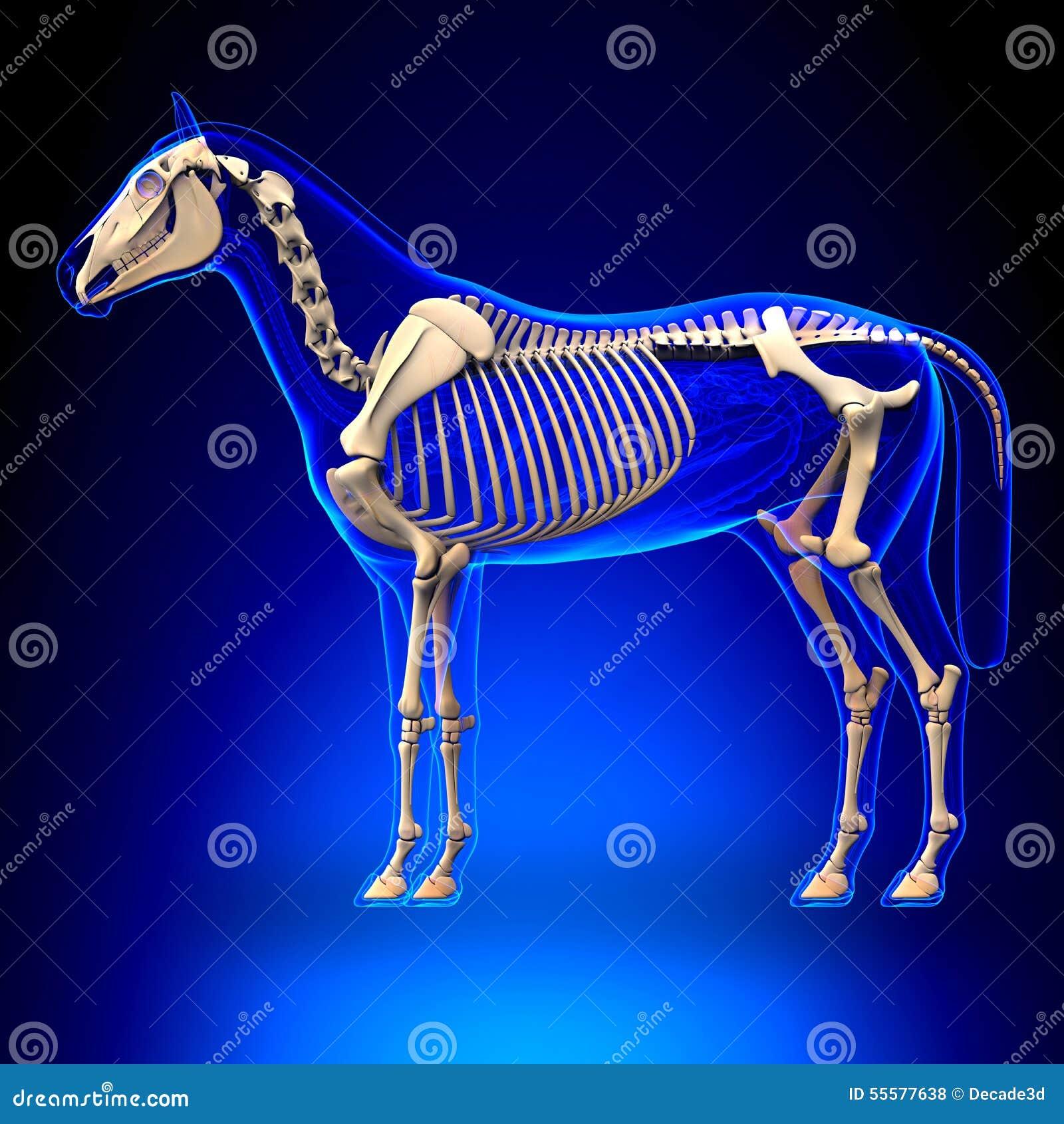 Pferdeskelett - Pferdequus-Anatomie - Auf Blauem Hintergrund Stock ...