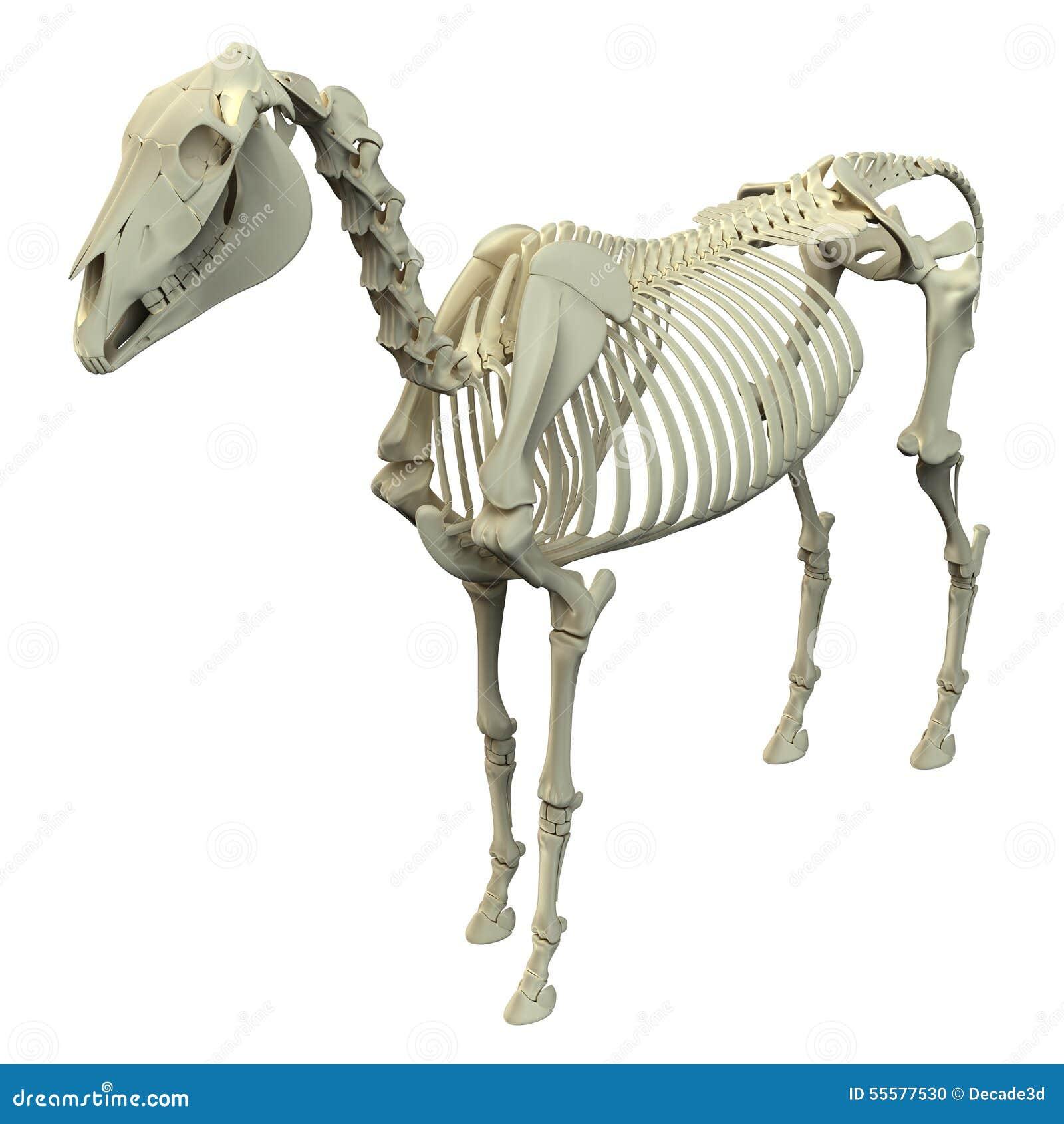 Pferdeskelett - Pferdequus-Anatomie - Lokalisiert Auf Weiß Stock ...