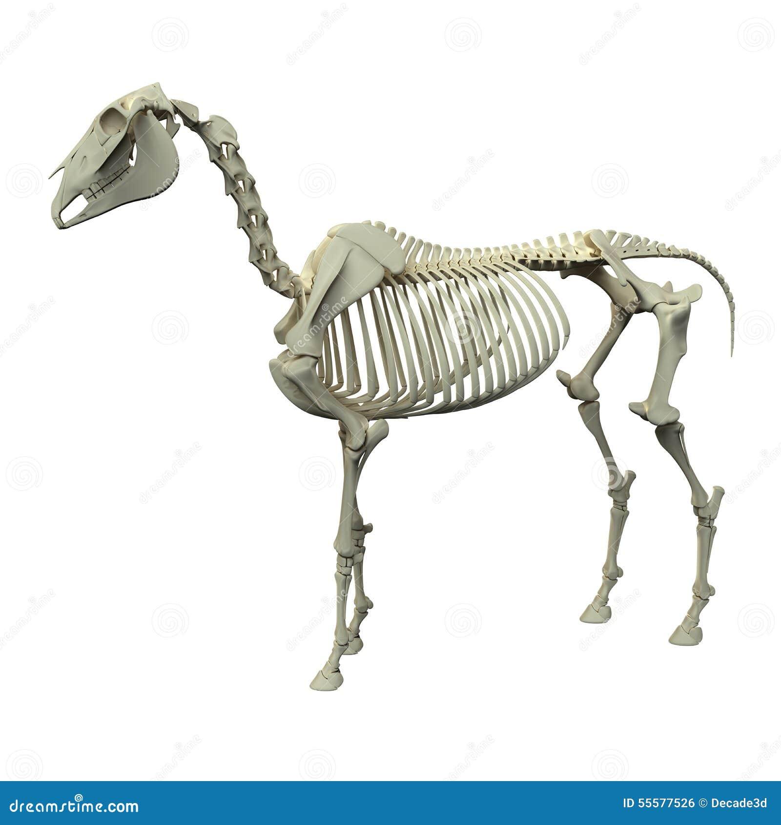 Pferdeskelett - Pferdequus-Anatomie - Seitenansicht Lokalisiert Auf ...