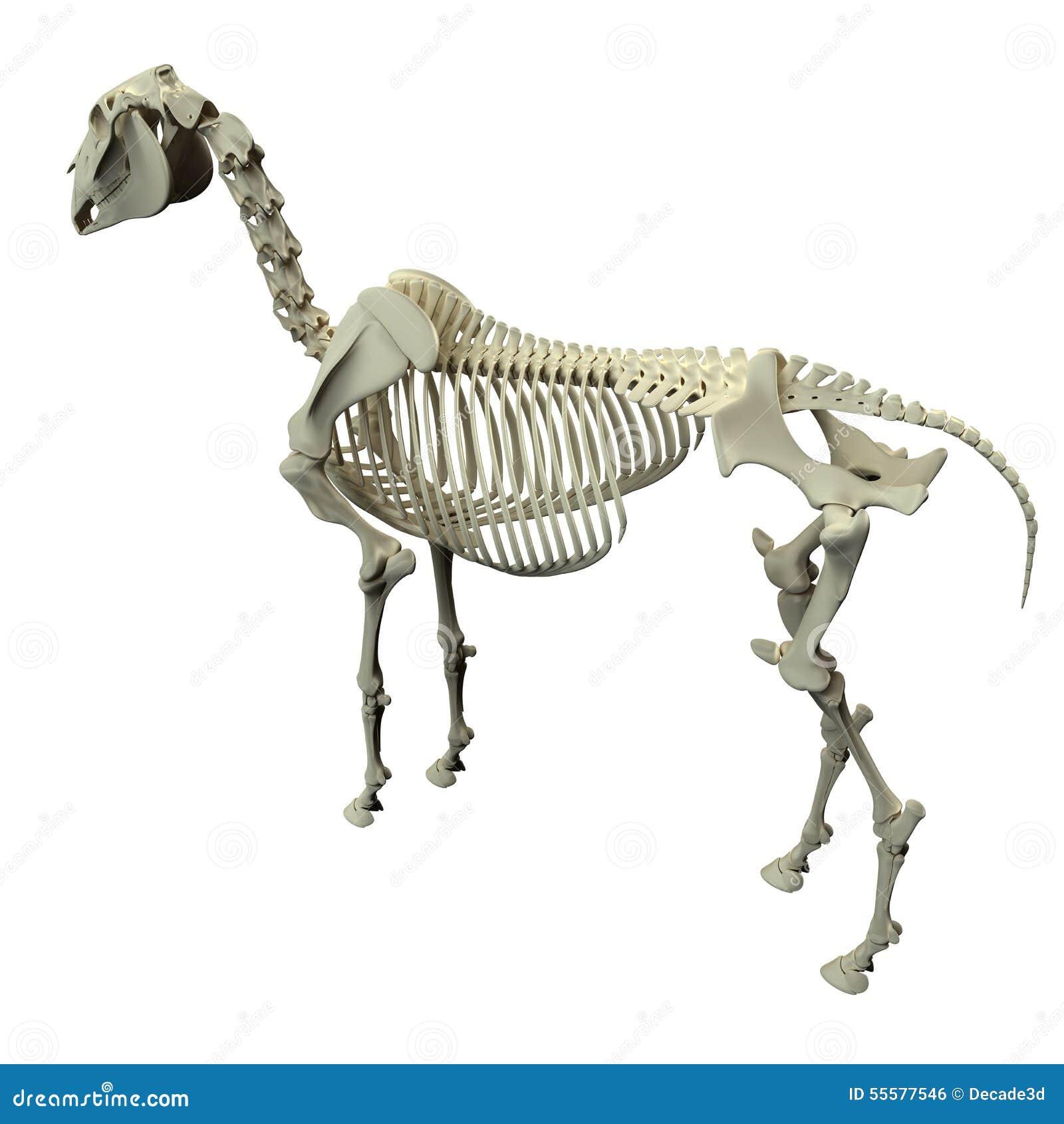 Pferdeskelett-Rückseiten-Ansicht - Pferdequus-Anatomie - Lokalisiert ...