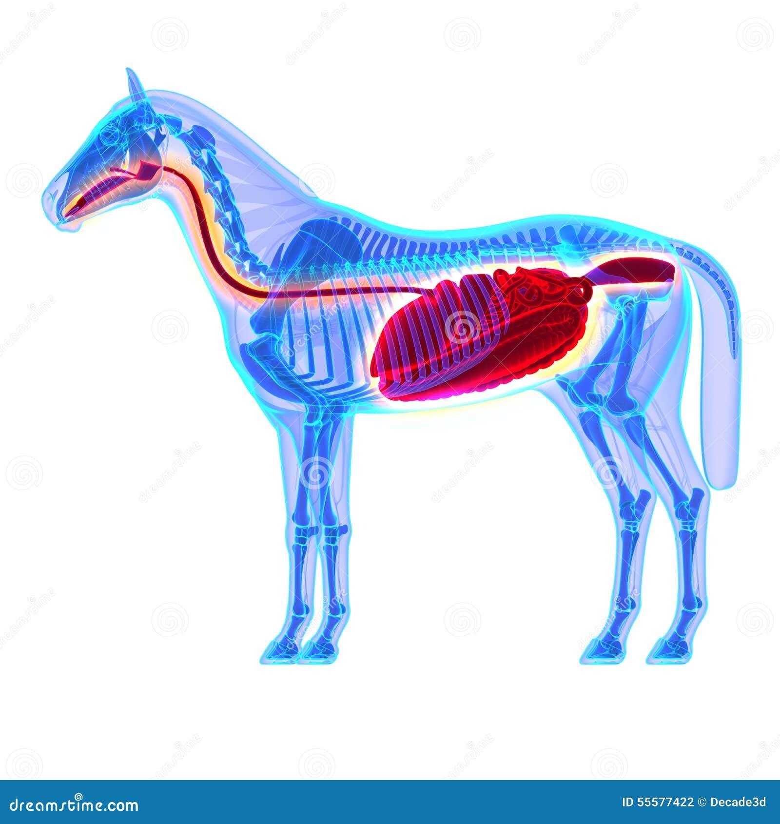 Großartig Pferde Zahnanatomie Galerie - Menschliche Anatomie Bilder ...