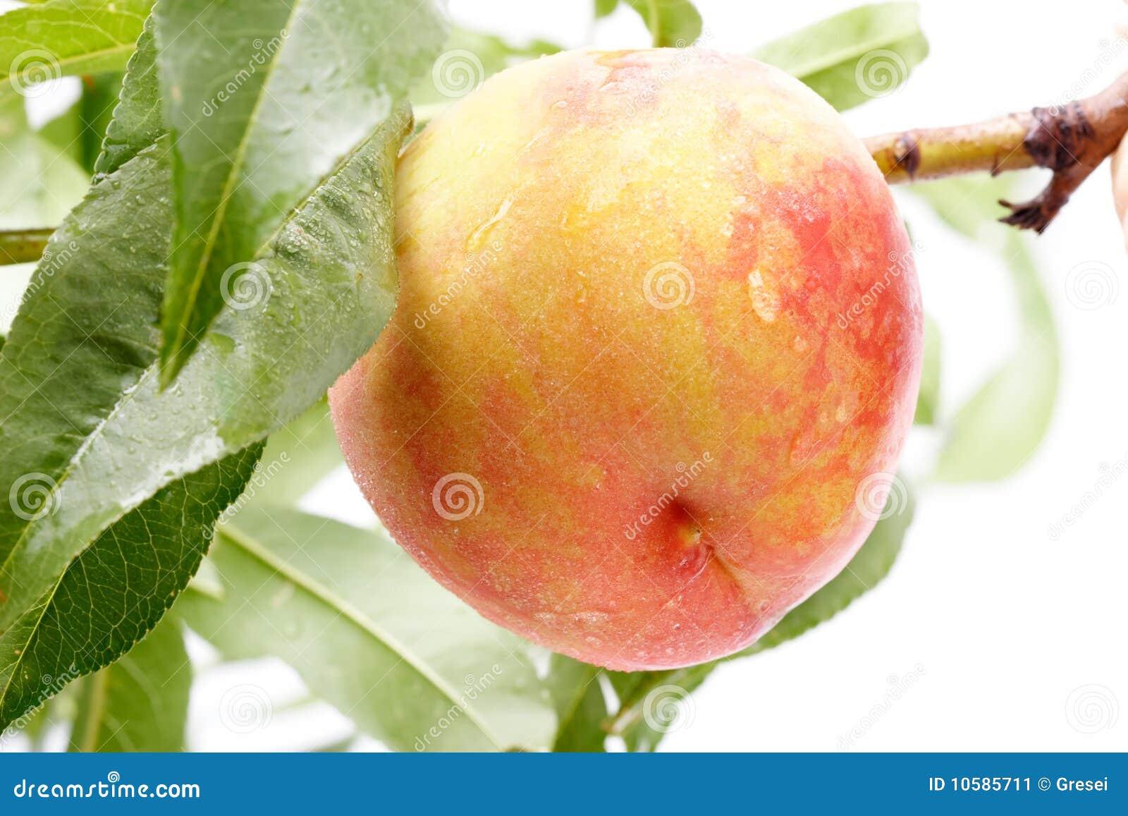 Pfirsich auf einem Baum