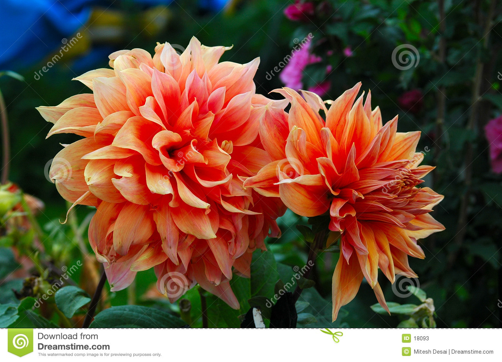 Pfirsich-Blume