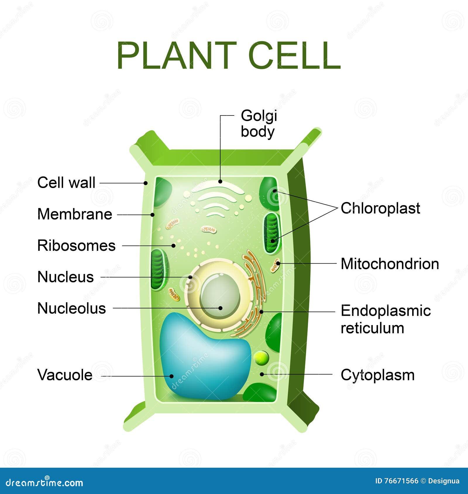 Nett Vergleichen Tierund Pflanzenzellen Arbeitsblatt Bilder - Super ...