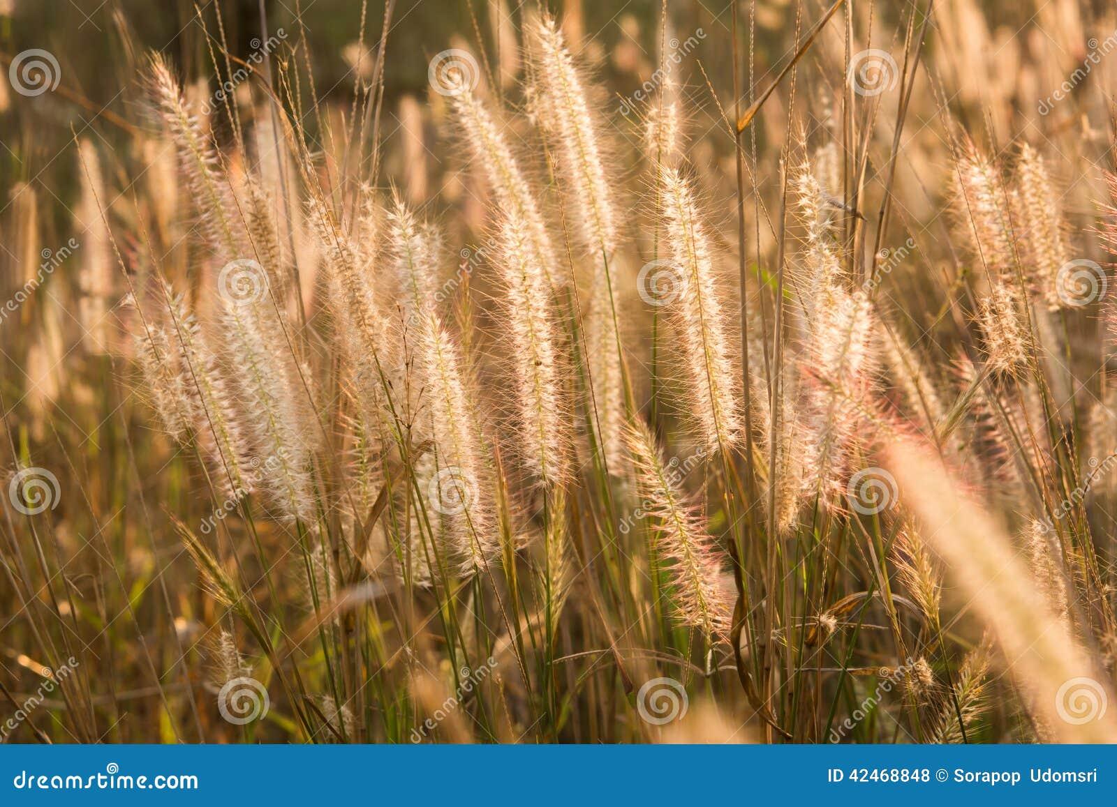 Pflanzt Rasenfläche bei Goldsonnenuntergang