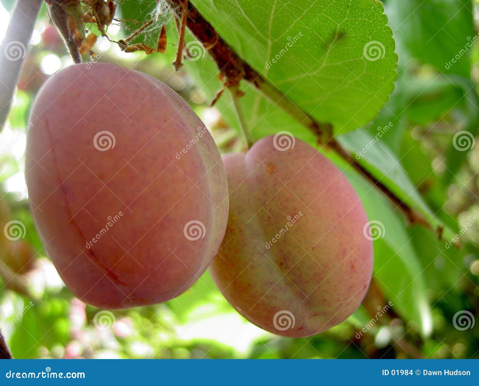 Pflaume-Baum