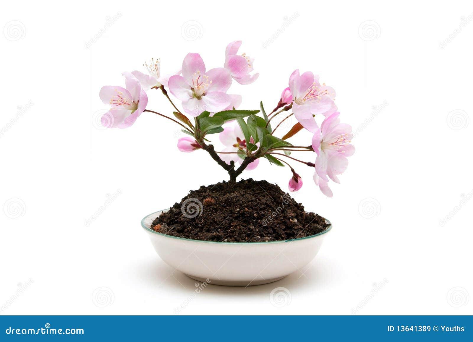 Pflaumeblüte
