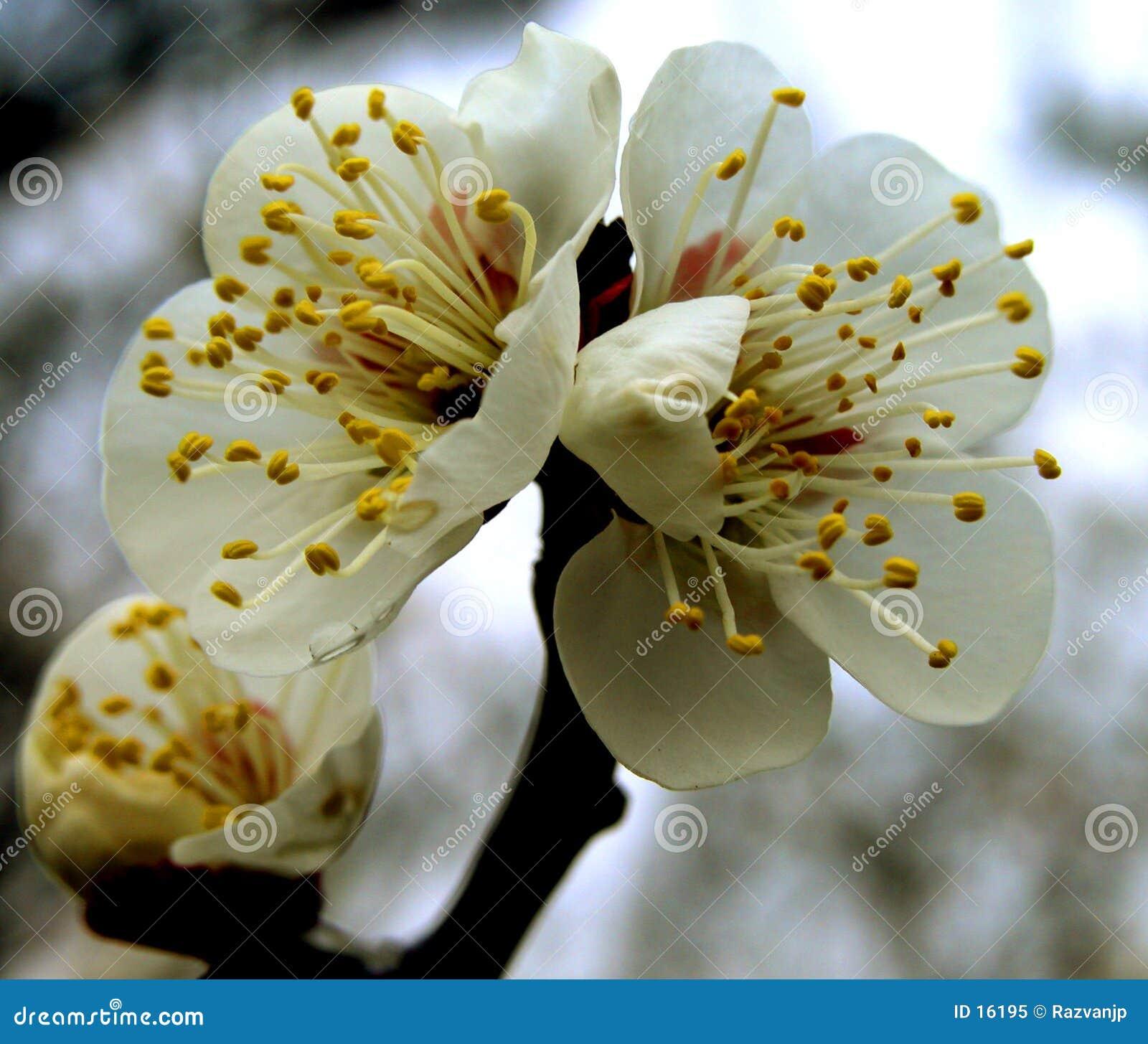 Pflaumeblumen