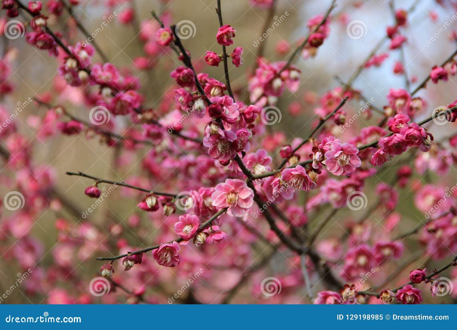 Pflaumenblüte drei