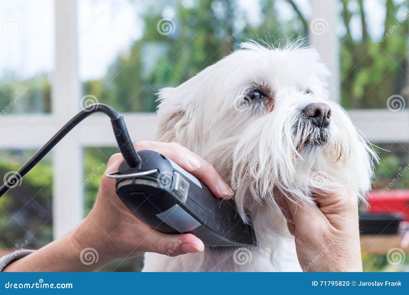 Pflegen des Halses des weißen Hundes