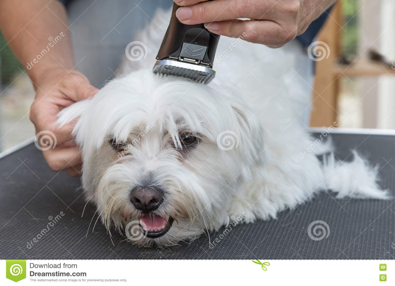 Pflegen des Kopfes des weißen maltesischen Hundes