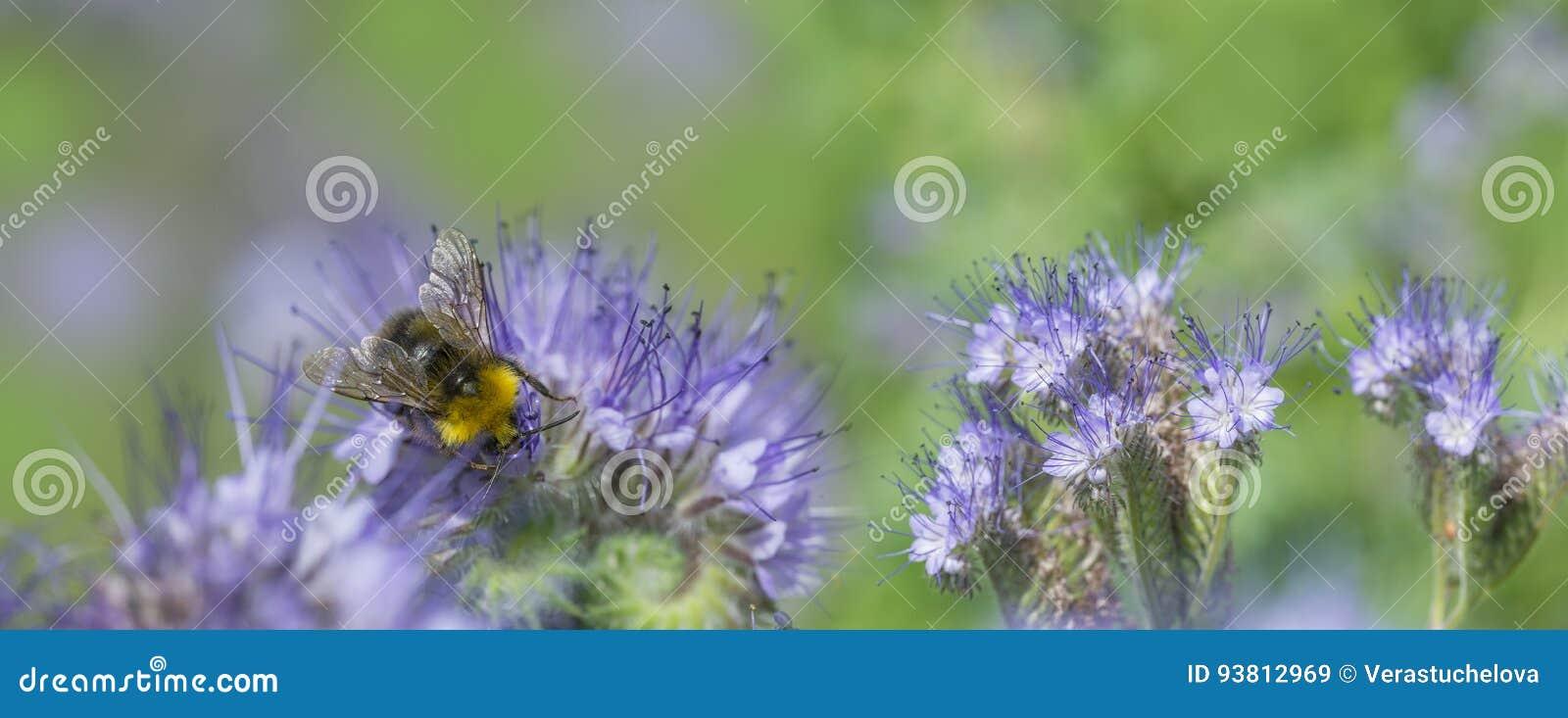 Phacelia Tanacetifolia Pianta Di Miele Immagine Stock Immagine