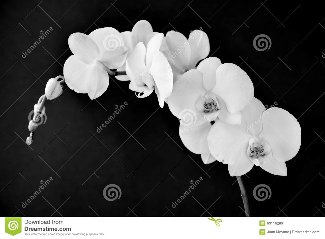 Phalaenopsis Aphrodite Orchid, In Black And White Stock ...