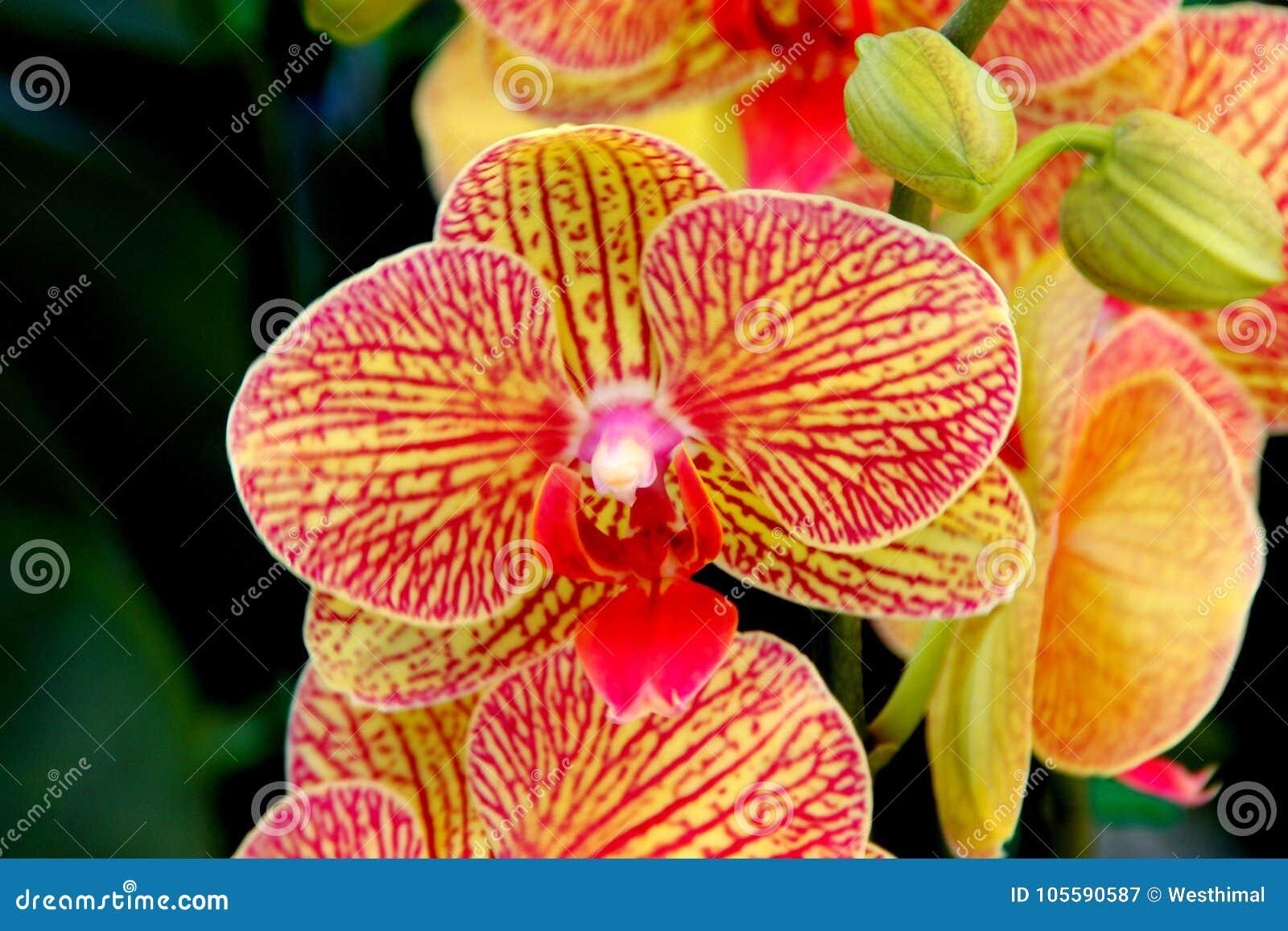 Phalaenopsis `Baldan`s Kaleidoscope`