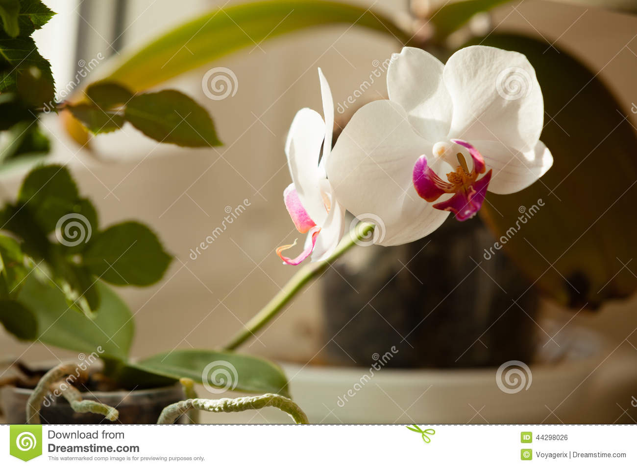 Phalaenopsis Fleur Blanche D Orchidee D Interieur Photo Stock