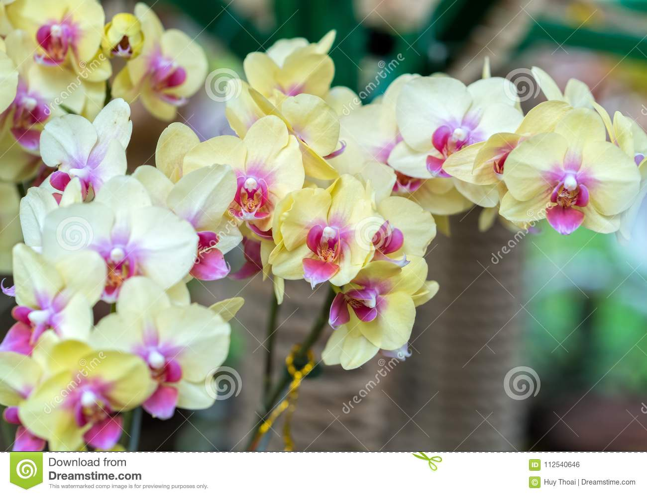 Phalaenopsis flowers bloom in spring adorn the beauty of nature phalaenopsis flowers bloom in spring adorn the beauty of nature this is the most beautiful orchid decorated in the house to help people close to nature izmirmasajfo