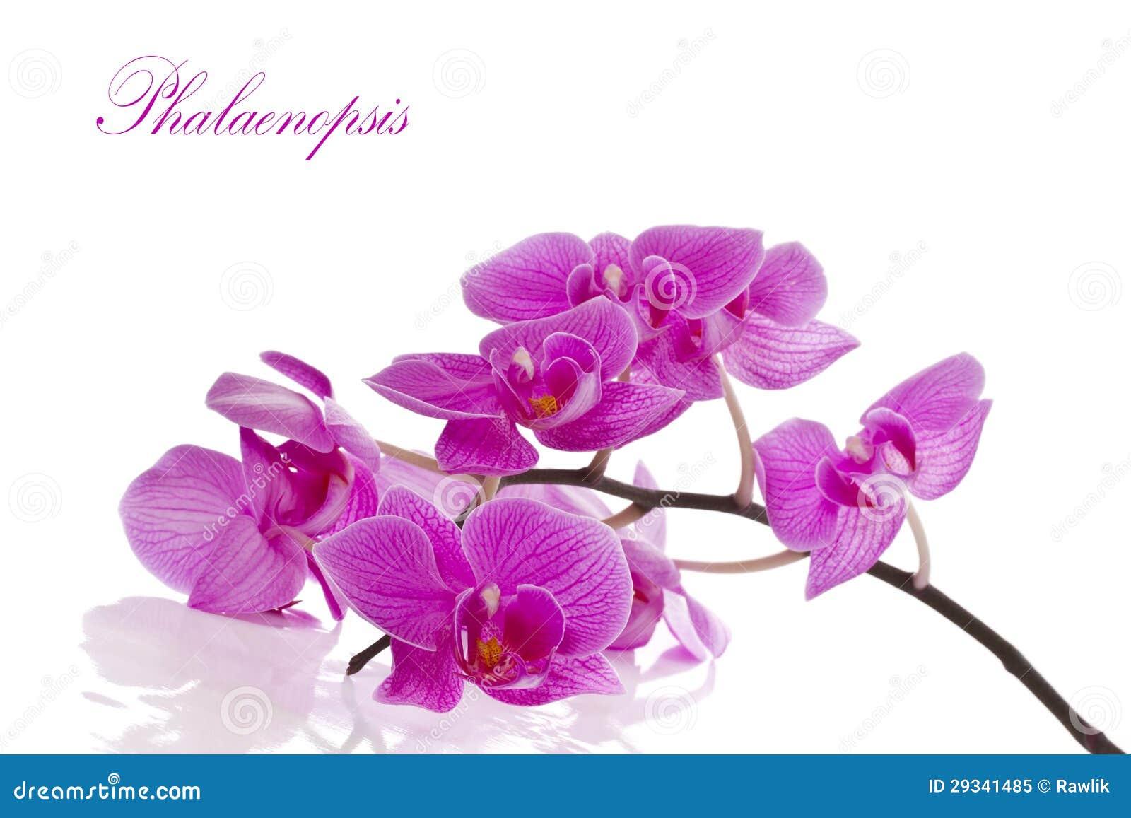 Phalaenopsis kwiaty