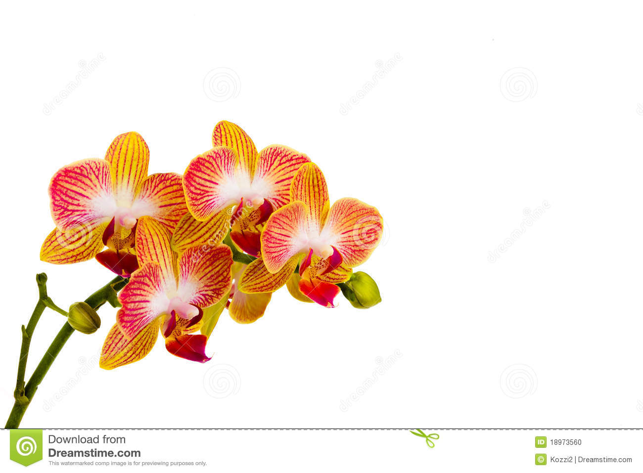phalaenopsis orchid stock photo image of pale green 18973560