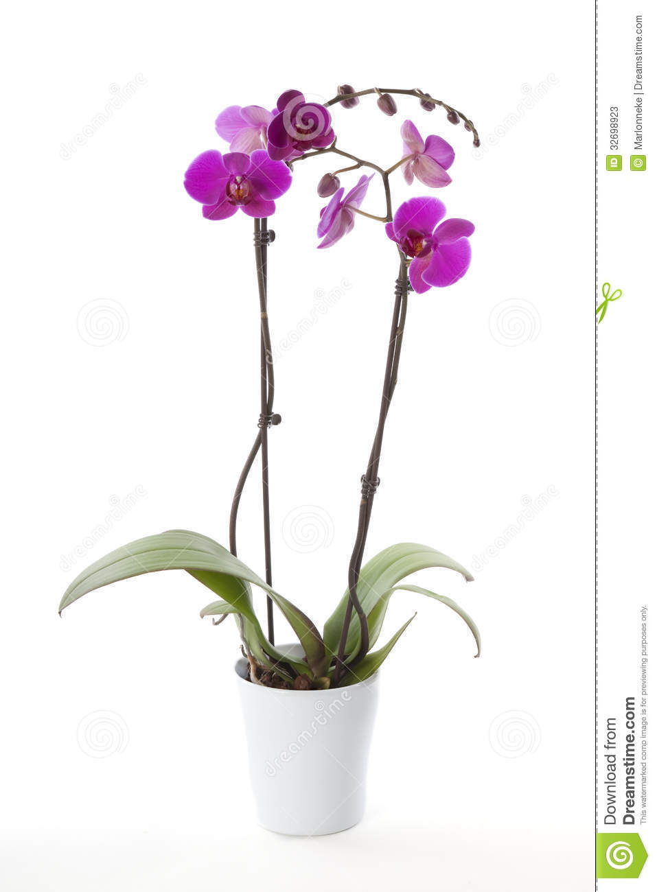 Phalaenopsis Orchid In Flower Pot Stock Photos - Image: 32698923