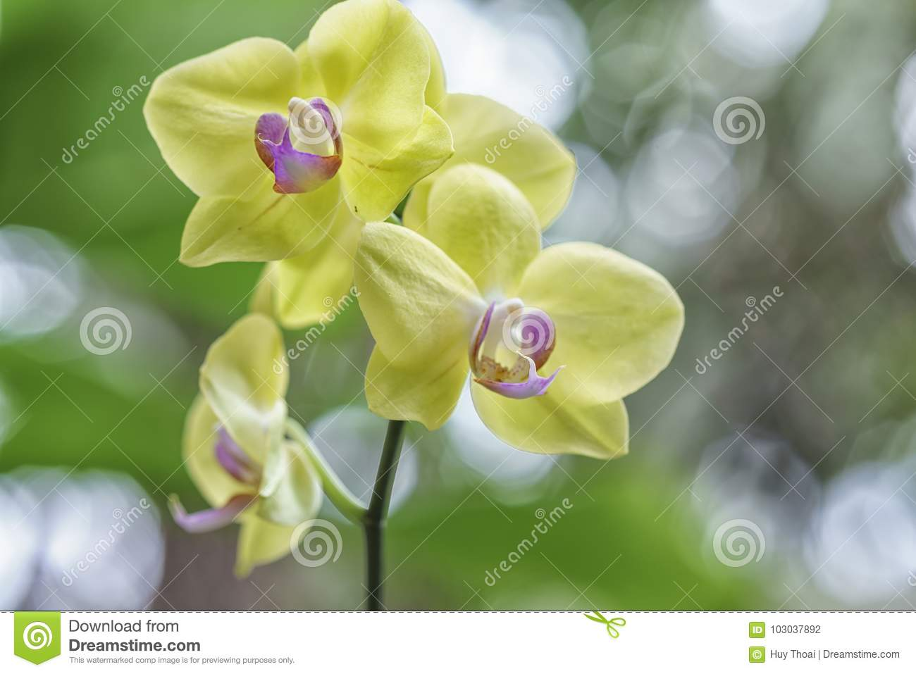 Phalaenopsis orchids flowers in bloom in adorn the beauty of nature royalty free stock photo izmirmasajfo