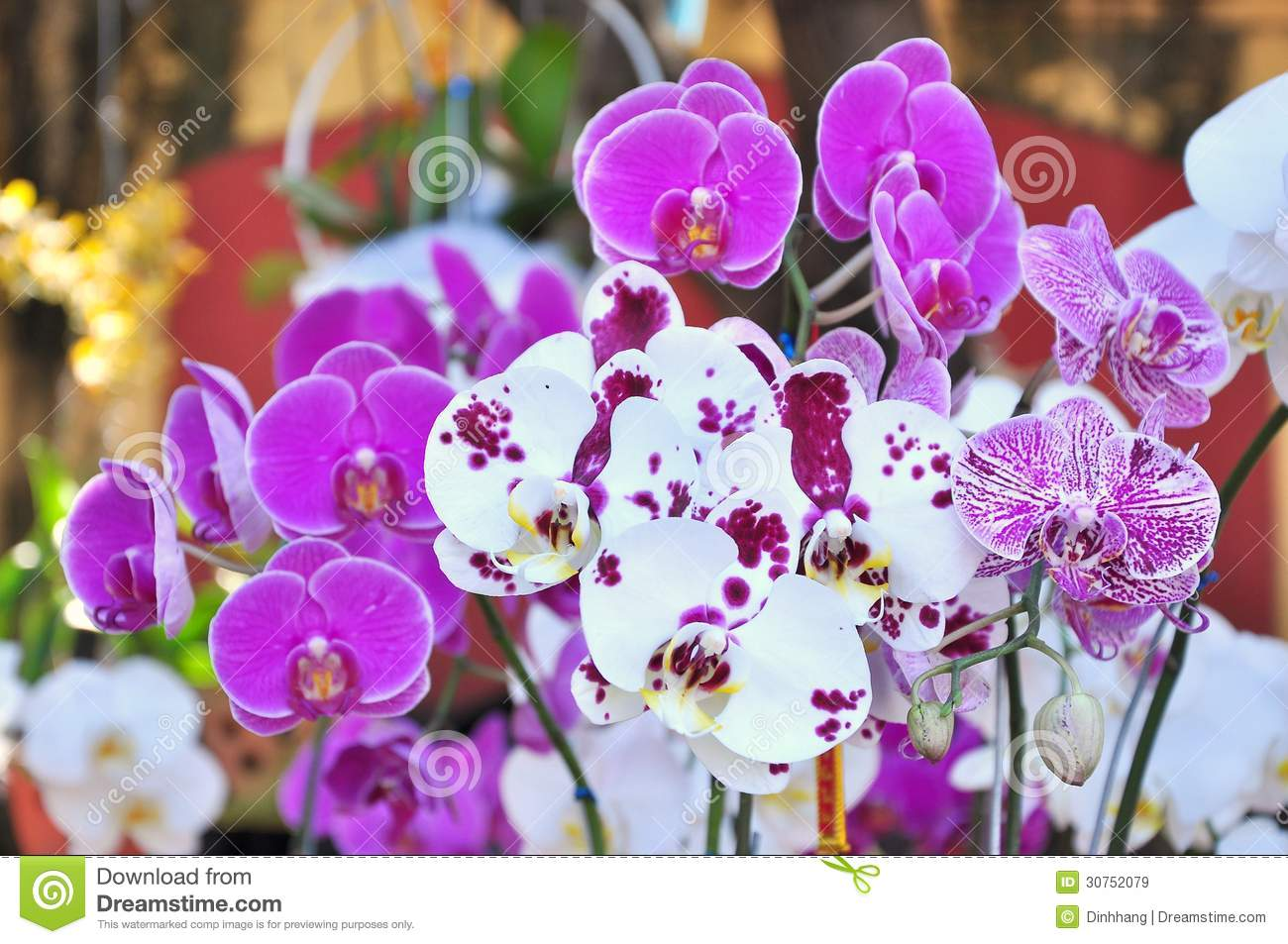 Phalaenopsis Pink And White Orchid Stock Image Image Of Bright
