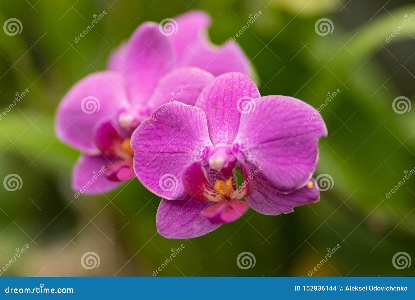 Phalaenopsis rosado, cierre rosado de la orquídea para arriba en foco suave