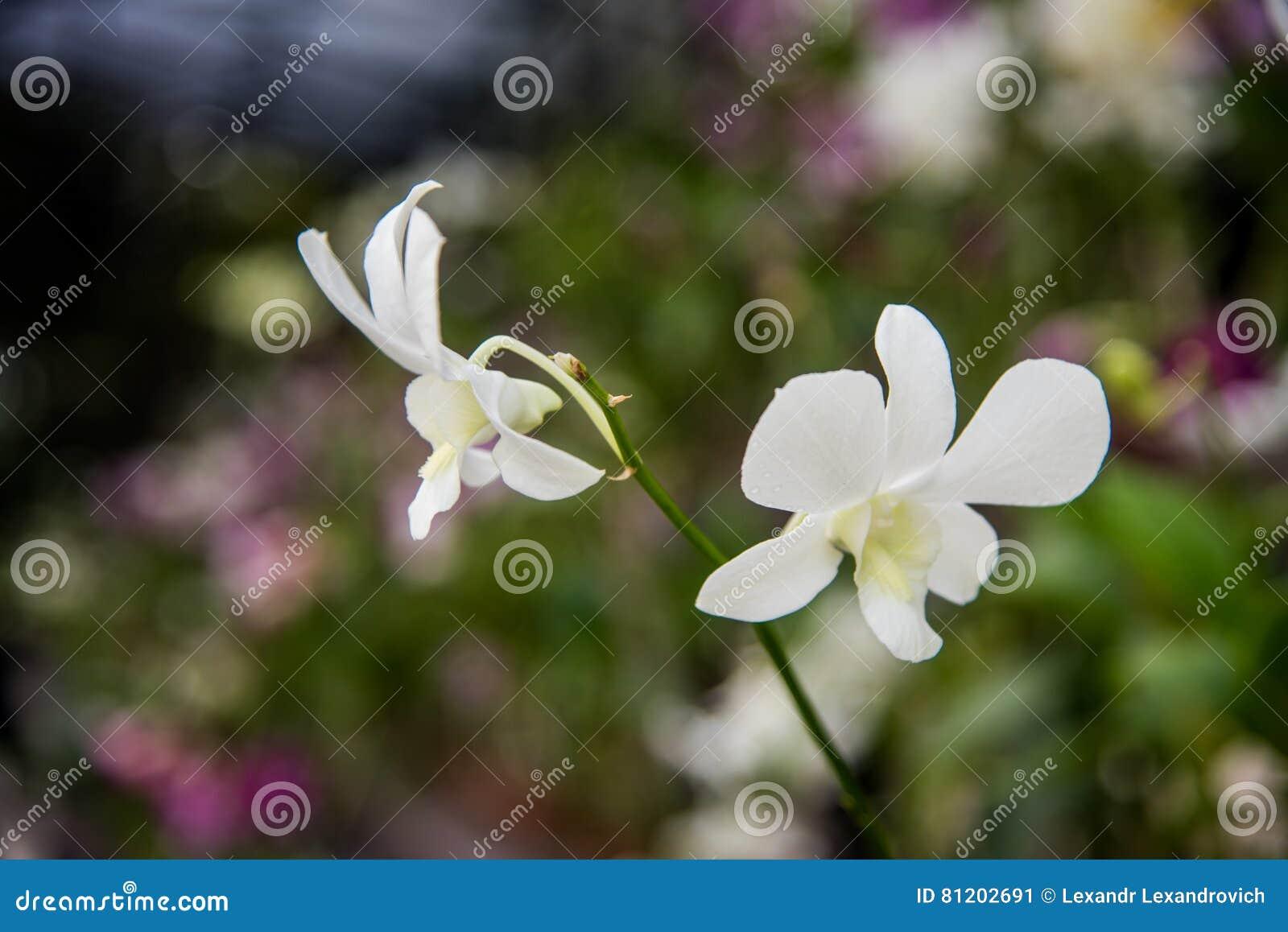 Phalaenopsis van de orchidee