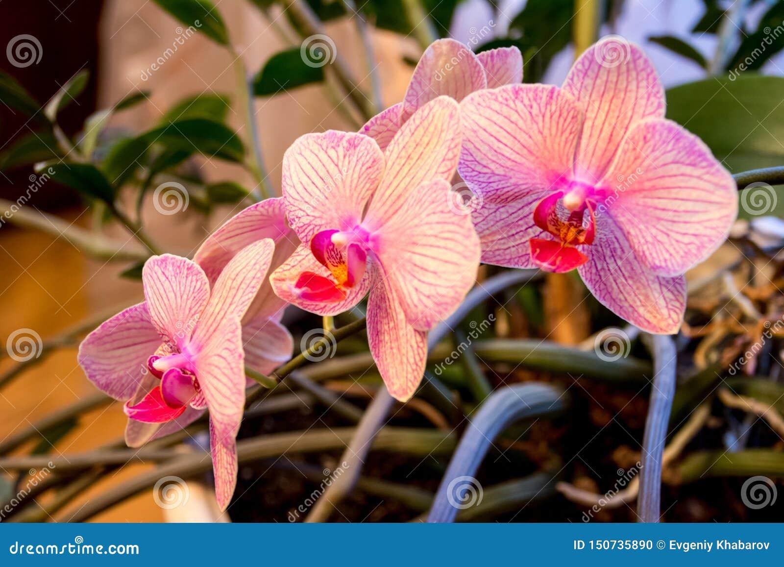 Phalaenopsisorkidéblomman, orkidér är drottningen av blommor i Thailand