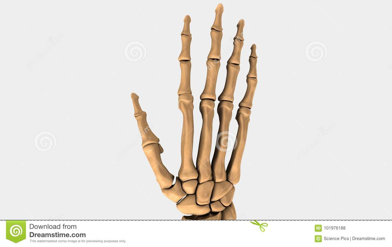 Hand And Wrist Bones Of Human Stock Illustration Illustration Of