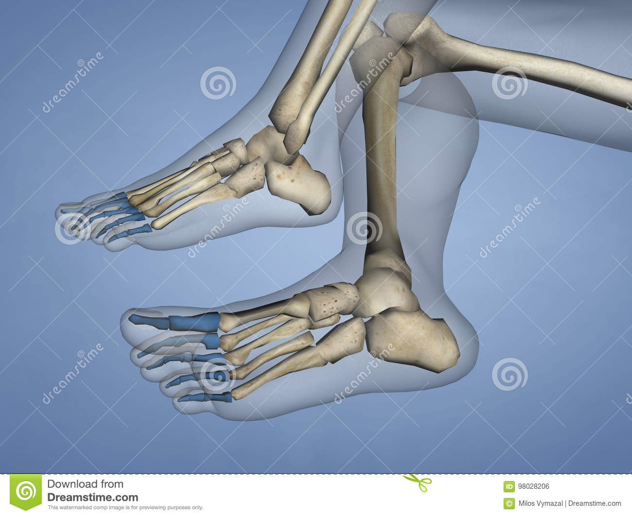 Phalanges Of Foot 3d Model Stock Illustration Illustration Of