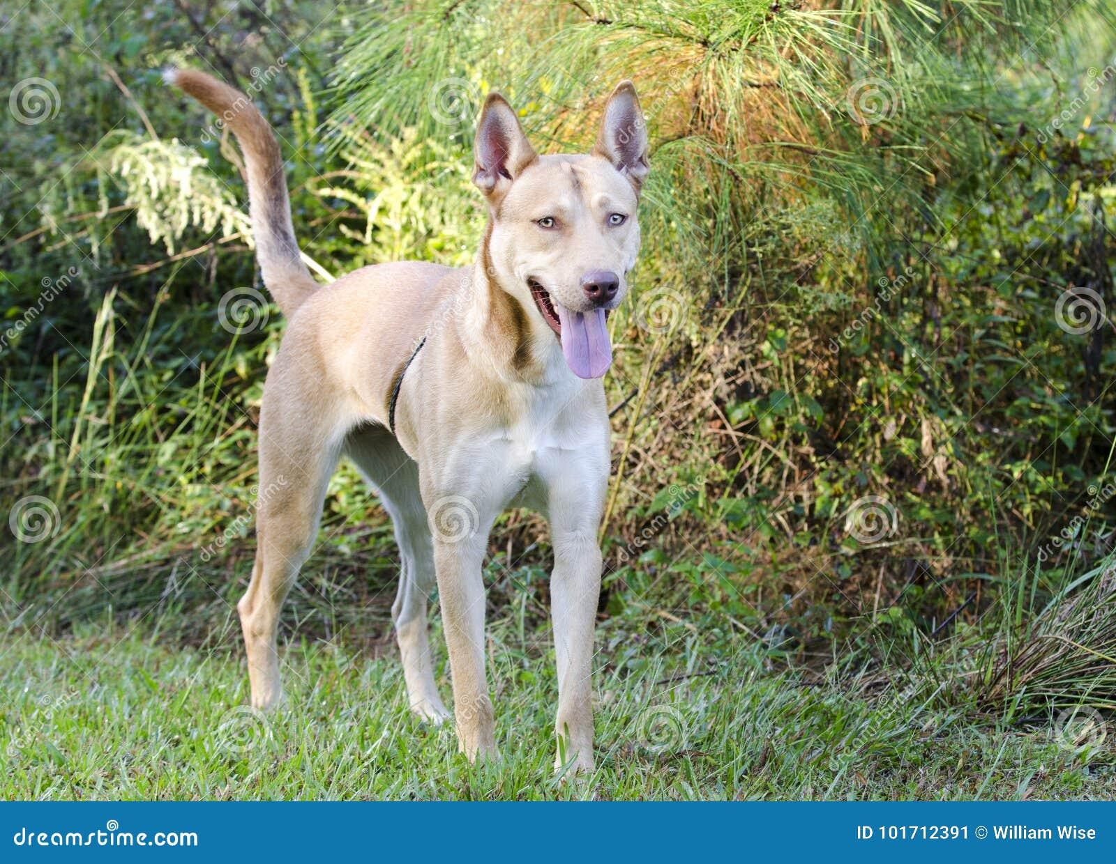 Pharaoh Hound Siberian Husky mixed breed dog