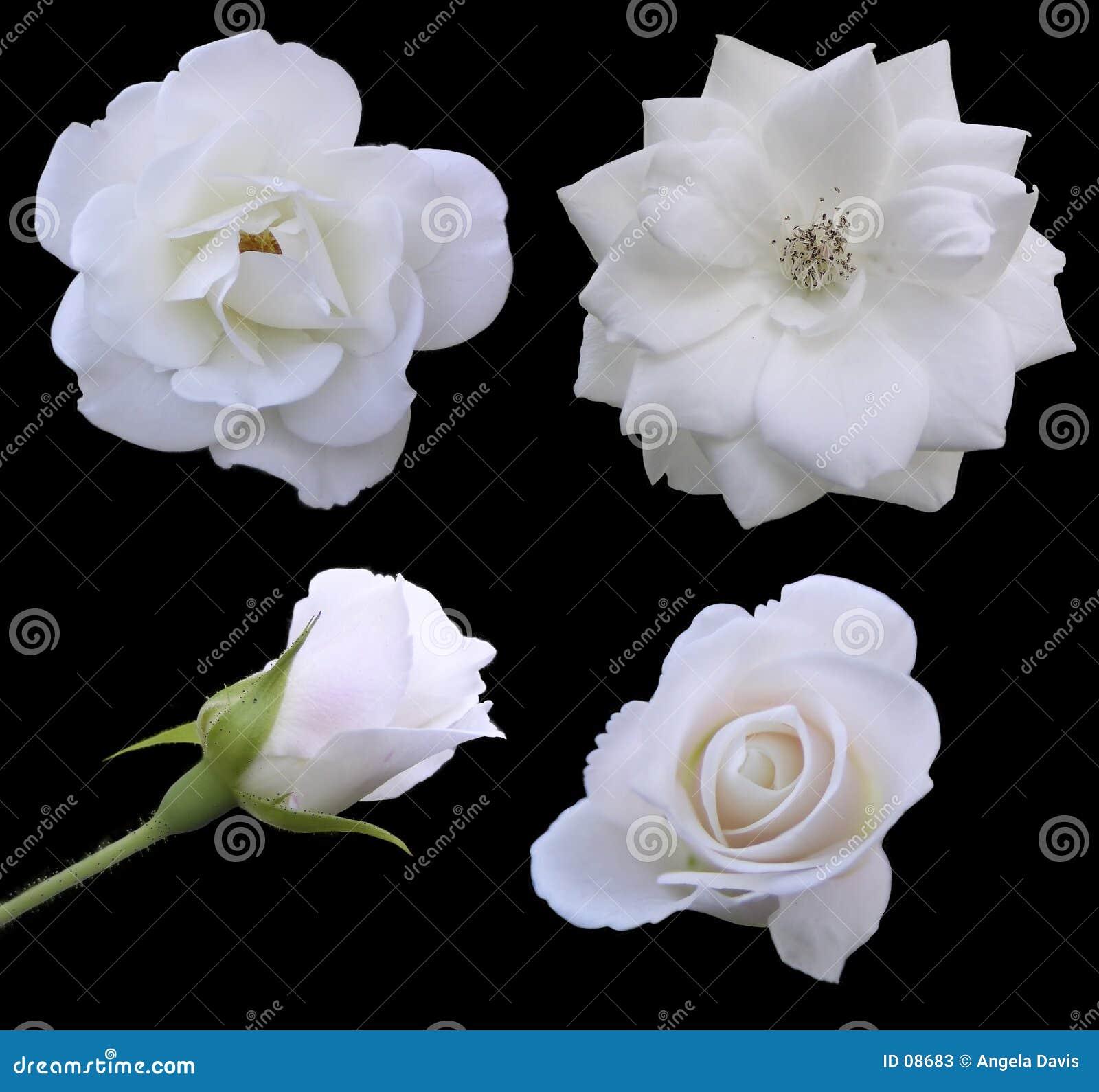 Phasen der Rose