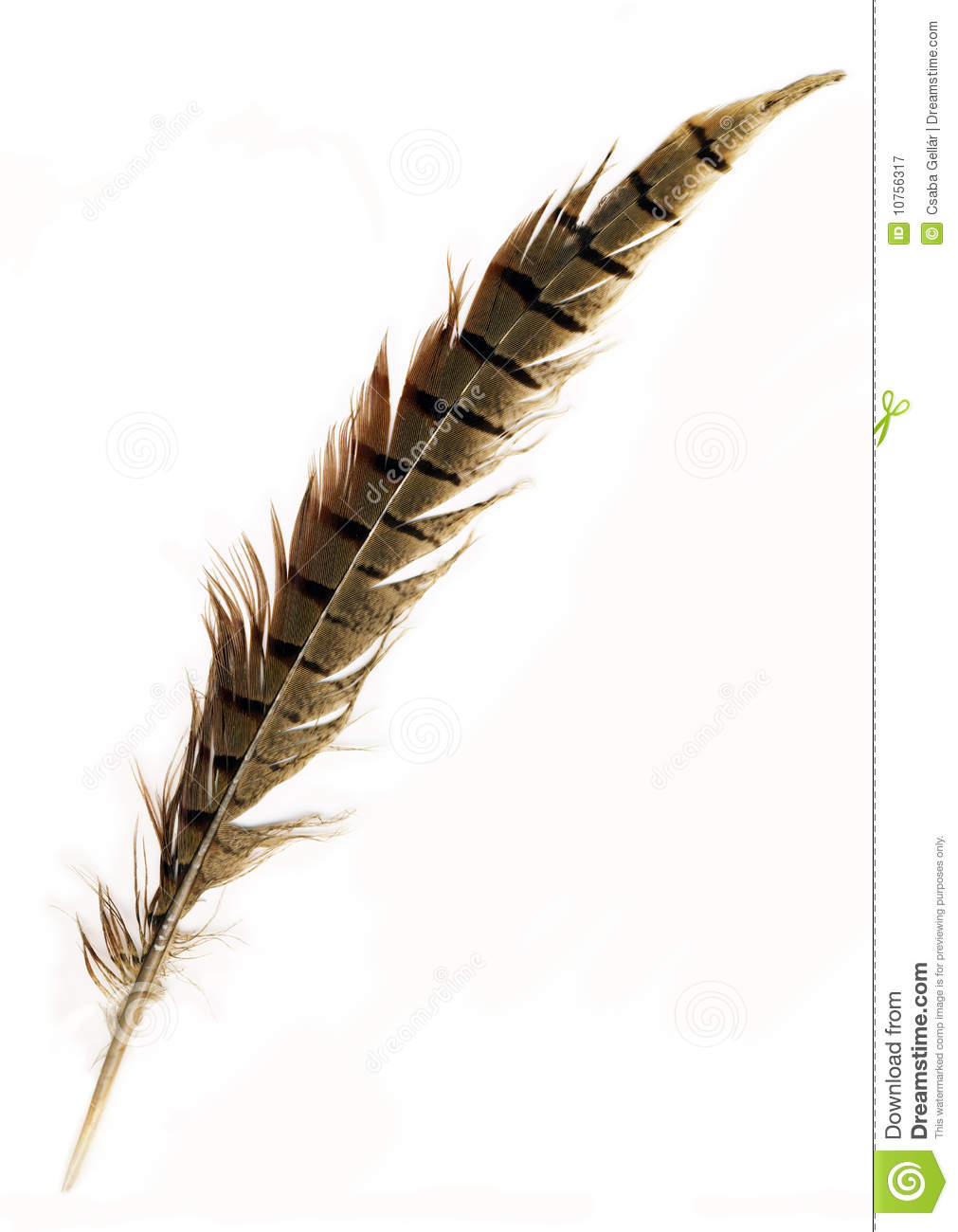 Pheasant Feather Royalty Free Stock Photography - Image: 10756317