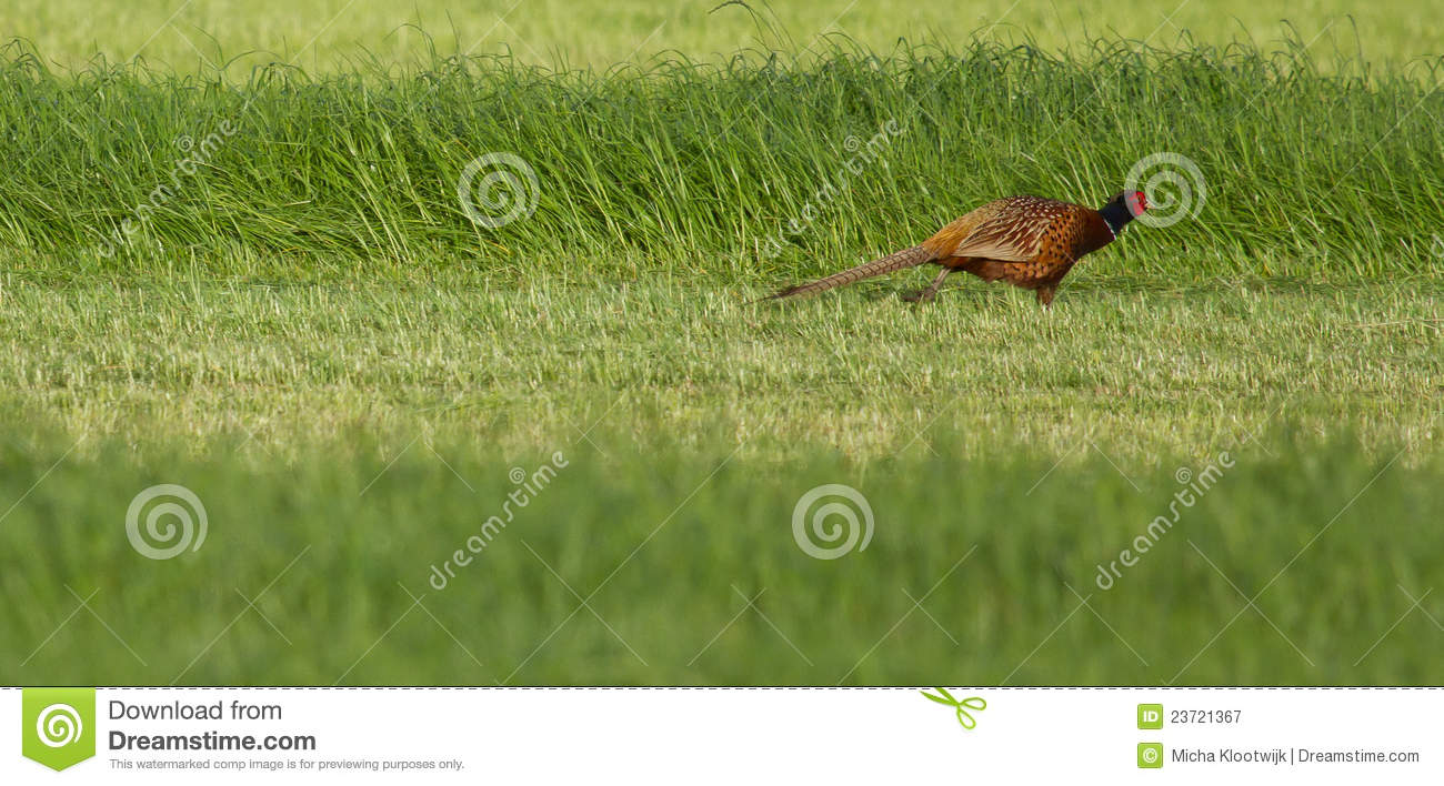 A pheasant in a field