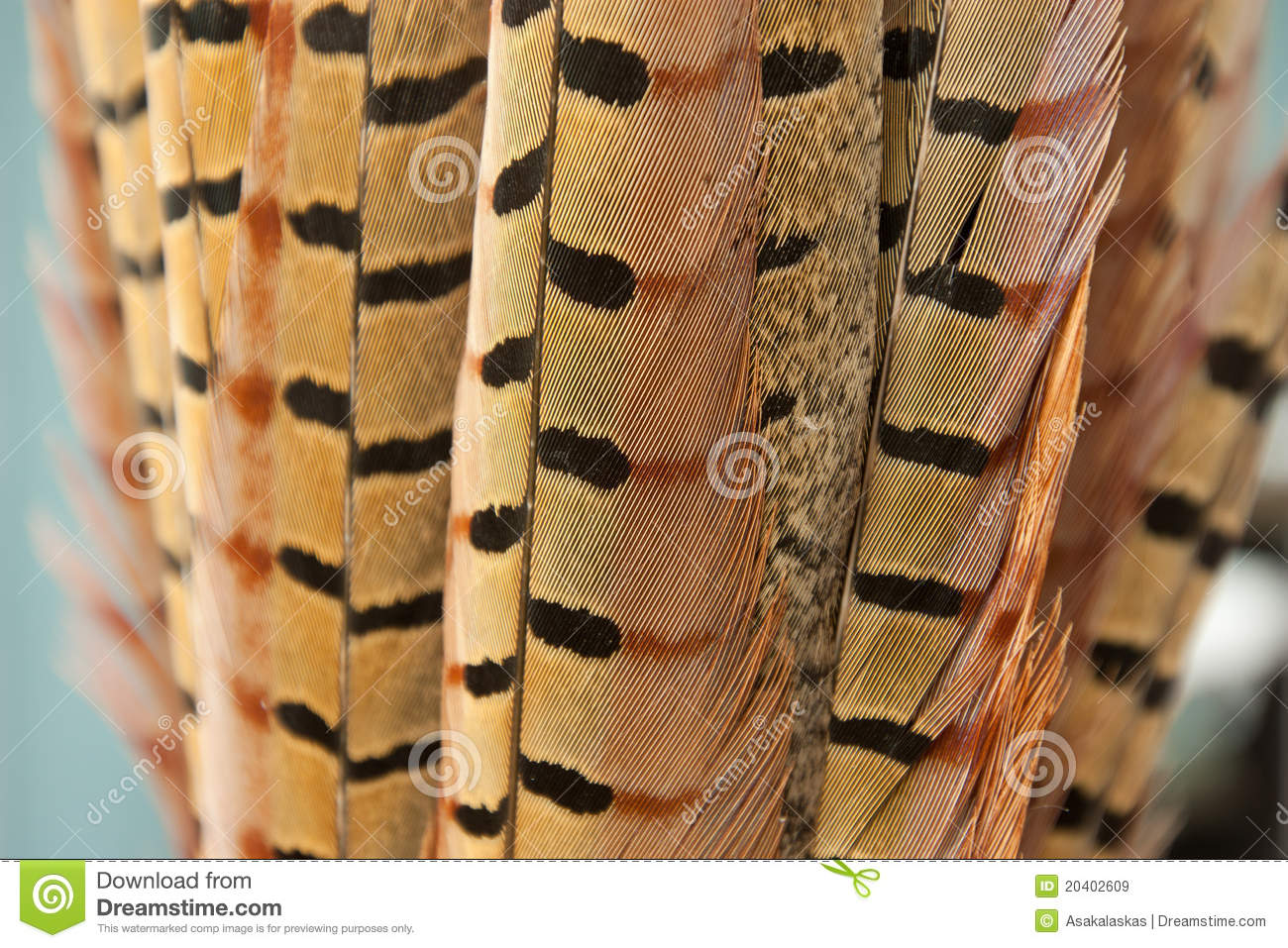 Pheasant Tail Feathers
