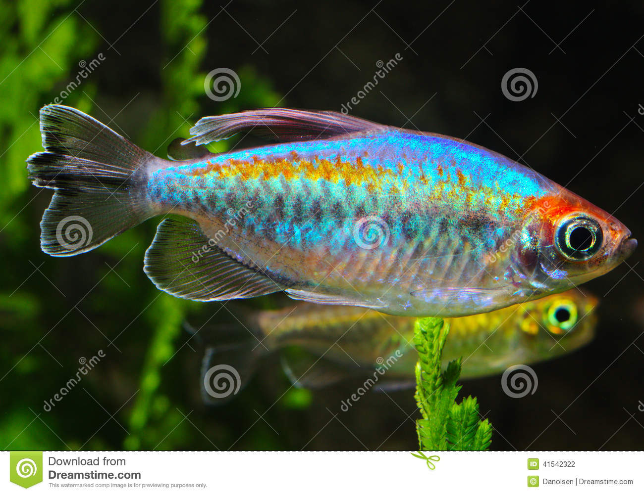 Phenacogrammus interruptus stock photo image of splendens for Tetra fish tanks