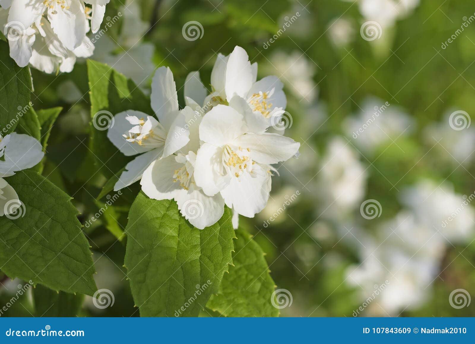 Fragrant White Flowers Of Sweet Mock Orange Philadelphus Corona