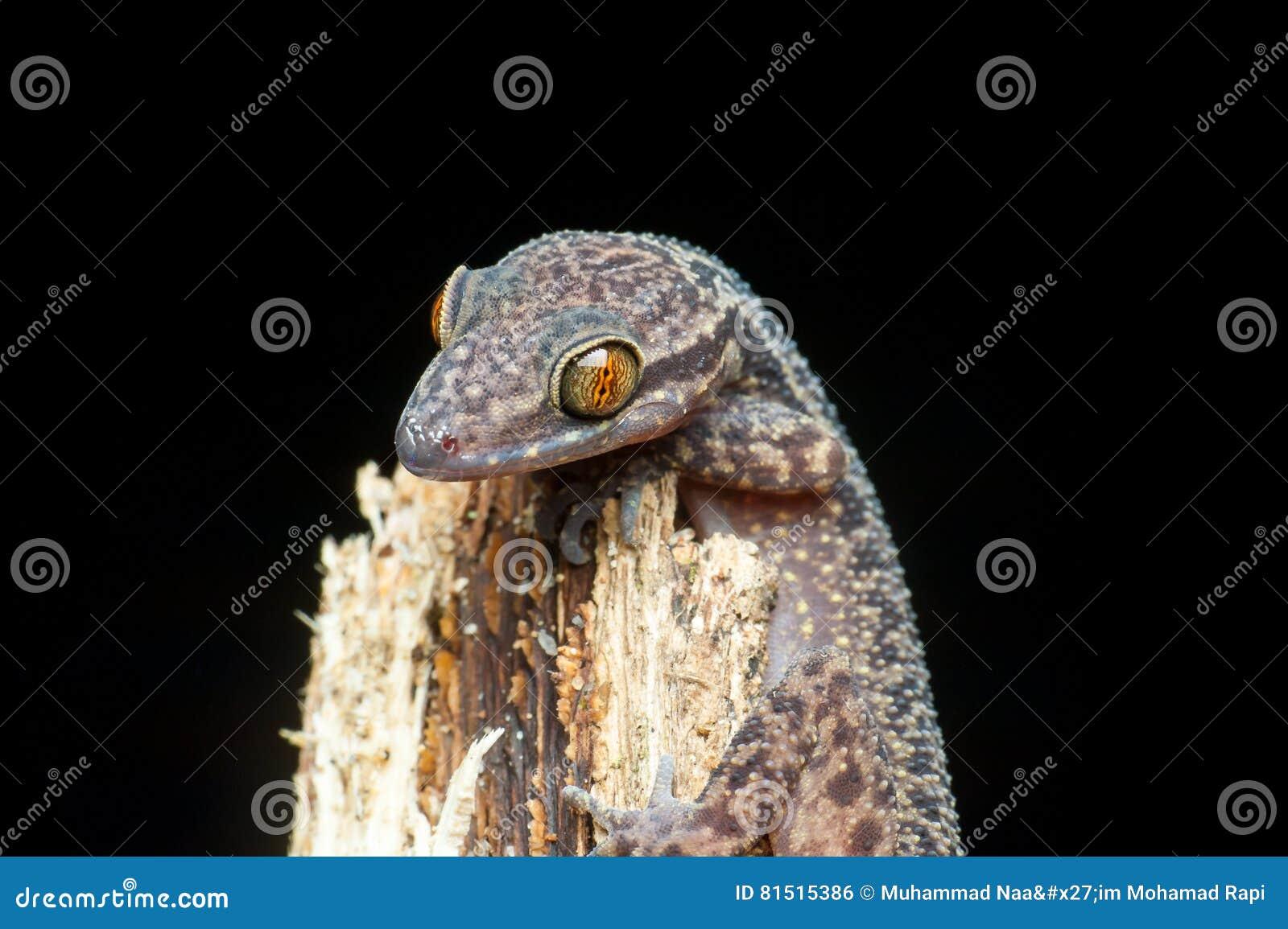 Philippine Biegung-wich Geckoeidechse aus