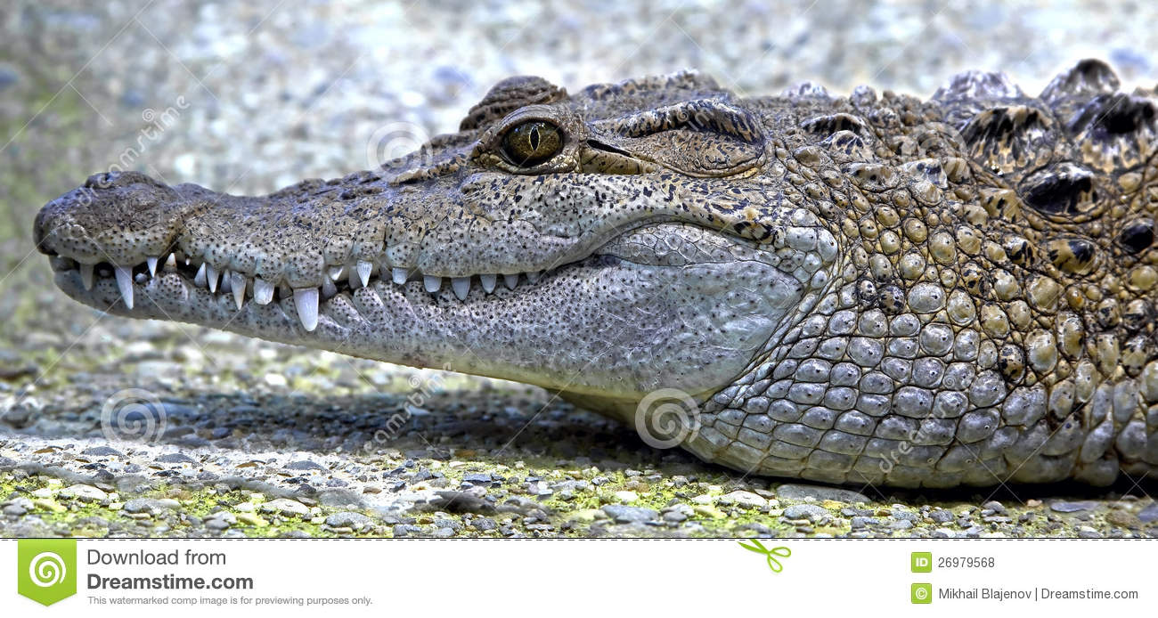 Philippine crocodile - photo#24