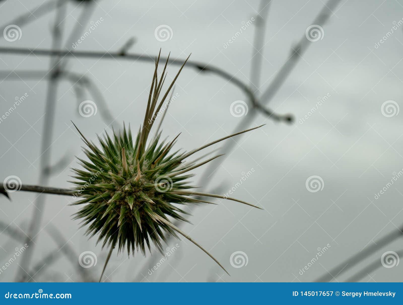 Philistaeus Echinops с облачным небом на заднем плане