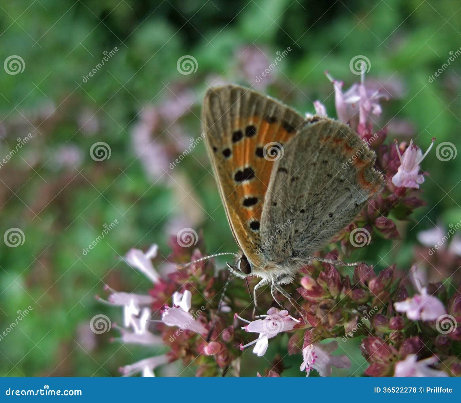 Phlaeas de Lycaena appelés par papillon