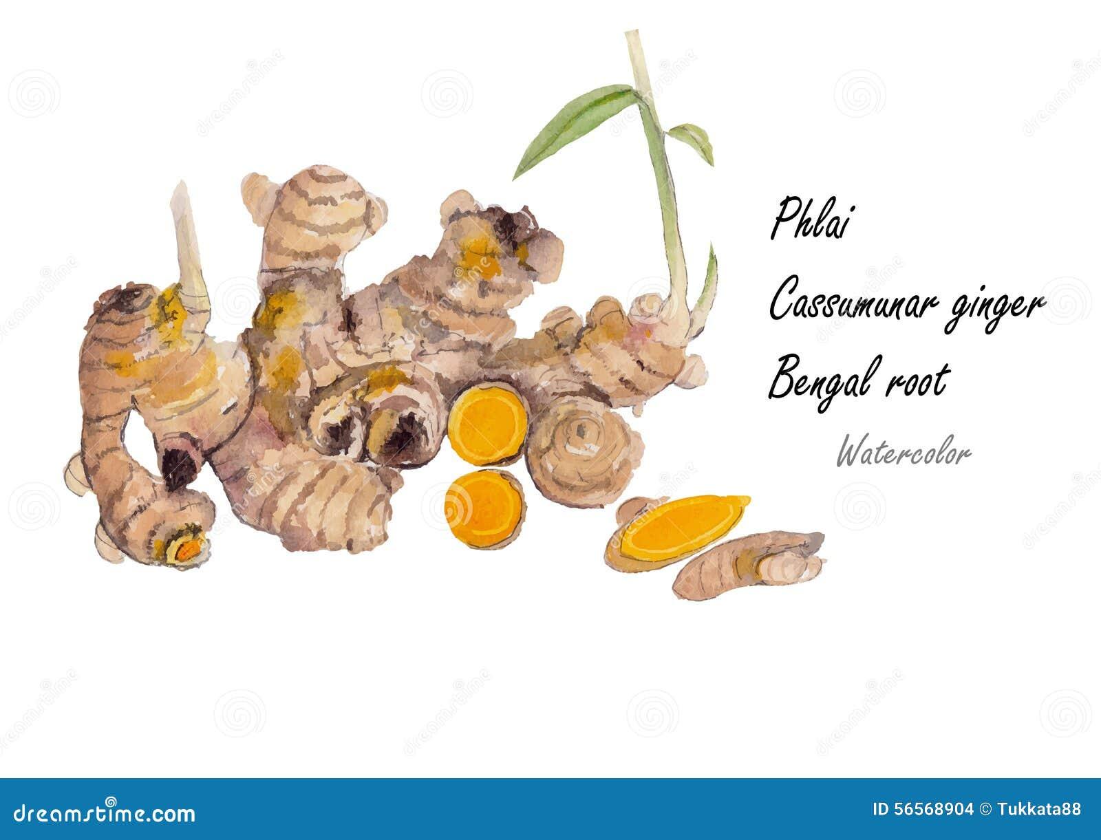 Download Phlai, πιπερόριζα Cassummunar Συρμένη χέρι ζωγραφική Watercolor στο άσπρο υπόβαθρο επίσης Corel σύρετε το διάνυσμα απεικόνισης Διανυσματική απεικόνιση - εικονογραφία από χαλάρωση, τρίψτε: 56568904